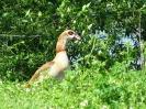 Husice nilská
