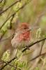 Carpodacus erythrinus(ad.M.)