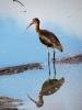 Ibis hnědý