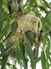 Moudivláček lužní s mláďaty u hnízda