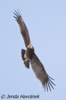 Orel volavý