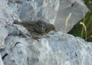 Pěvuška podhorní