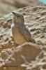 Skřivan pouštní