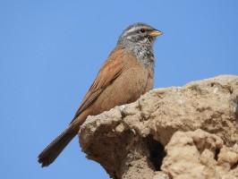 Strnad saharský